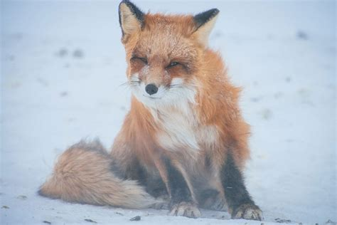 See For Yourself This Mining Engineer's Photos Of Foxes