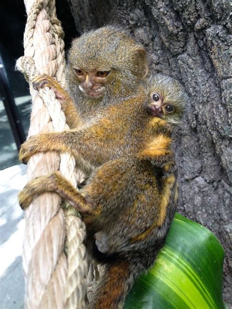 World's Smallest Monkey Joins the Family at the Houston