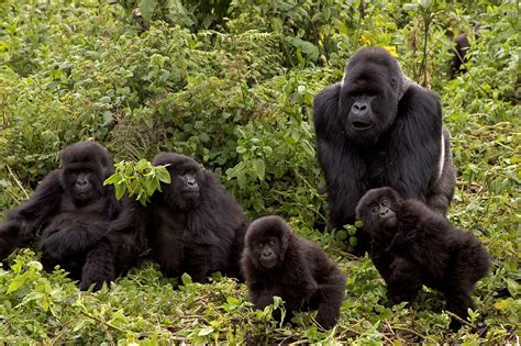 Grauer's gorillas grooming their dead, new research shows