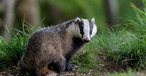 Badger cull protesters confronted by ARMED POLICE in late