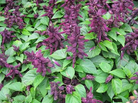 Salvia - Our Plants - Kaw Valley Greenhouses