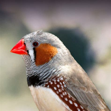 Zebra Finch Personality, Food & Care – Pet Birds by