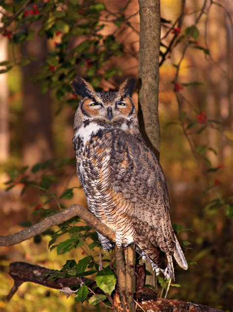 Owl   Free Stock Photo   An owl sitting on a tree branch