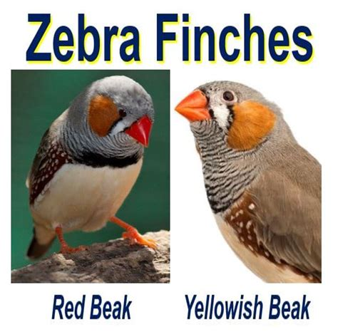 The redder the zebra finch the healthier it is so the