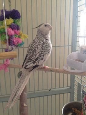 5 ADULT WHITE FACE COCKATIELS (male & female) for Sale in