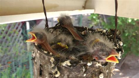 Baby Birds ~ House Finches ~ nesting in a wind chime - YouTube