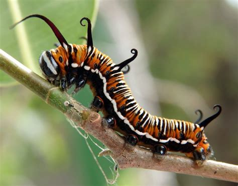 Shy Caterpillar - Photo Review
